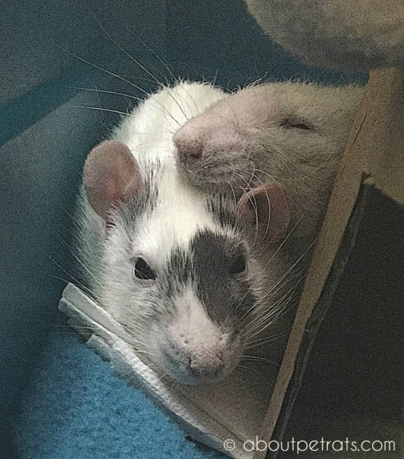 about pet rats, pet rats, pet rat, rats, rat, fancy rats, fancy rat, ratties, rattie, pet rat care, pet rat info, pet rat information, pet rat friends