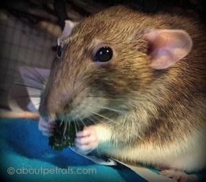about pet rats, pet rats, pet rat, rats, rat, fancy rats, fancy rat, ratties, rattie, pet rat care, pet rat info, best pet, cute pets, pet rat supplies, pet rat diet, best pet rat diet, best rat diet, pet rat food, pet rat nutrition, pet rat health