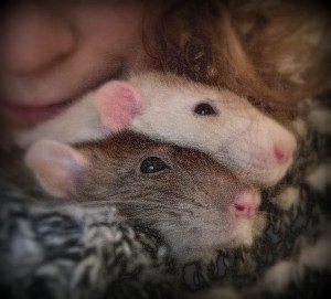 about pet rats, pet rats, pet rat, rats, rat, fancy rats, fancy rat, ratties, rattie, pet rat care, pet rat info, pet rat intro, pet rat intros, pet rat introduction, pet rat introductions