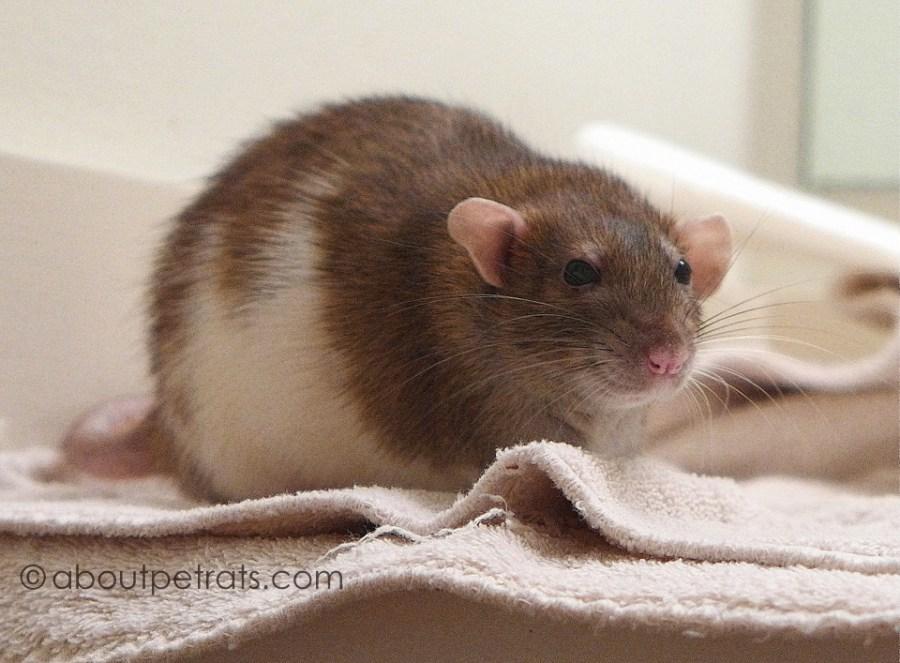 about pet rats, pet rats, pet rat, rats, rat, fancy rats, fancy rat, ratties, rattie, pet rat care, pet rat info, pet rat information, honoring my pet rat, missing my pet rat, mourning a beloved pet rat, losing a pet rat, pet rat obituary, loving pet rats