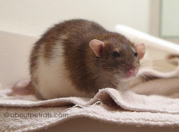 about pet rats, pet rats, pet rat, rats, rat, fancy rats, fancy rat, ratties, rattie, pet rat care, pet rat info, pet rat information, best pet ever, missing Twyla, my pet rat Twyla, Twyla my love