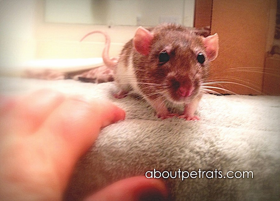 about pet rats, pet rats, pet rat, rats, rat, fancy rats, fancy rat, ratties, rattie, pet rat care, pet rat info, pet rat information