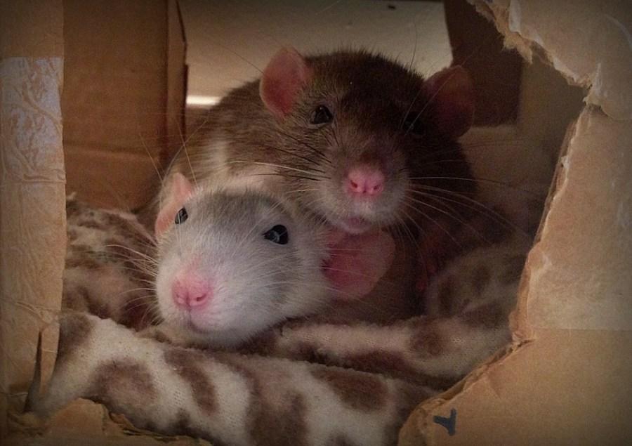 about pet rats, pet rats, pet rat, rats, rat, fancy rats, fancy rat, ratties, rattie, pet rat care, pet rat info, best pet, cute pets, pet rat supplies, pet rat box, pet rat boxes