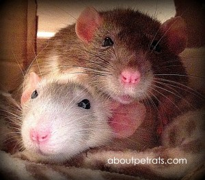 about pet rats, pet rats, pet rat, rats, rat, fancy rats, fancy rat, ratties, rattie, pet rat care, pet rat info, pet rat play, pet rat behavior, pet rat health, best pet, cute pets, pet rat supplies