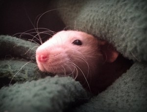 about pet rats, pet rats, pet rat, rats, rat, fancy rats, fancy rat, ratties, rattie, pet rat care, pet rat info, pet rat information, allergic to pet rats, what do I do if I'm allergic to pet rats?, humans allergic to pet rats, human pet rat allergies, allergic reactions to pet rats, how to get over allergic reactions to pet rats