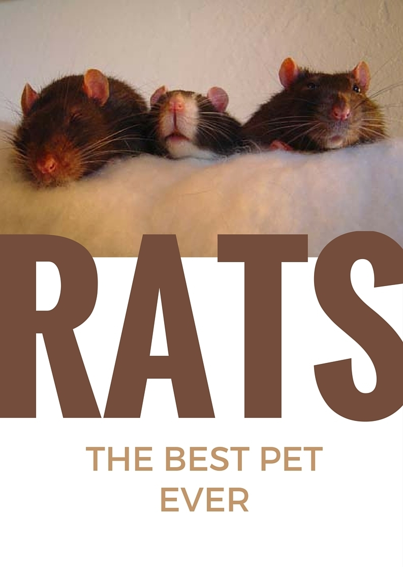 about pet rats, pet rats, pet rat, rats, rat, fancy rats, fancy rat, ratties, rattie, pet rat care, pet rat info, pet rat play, pet rat behavior, pet rat health, best pet, cute pets, pet rat supplies