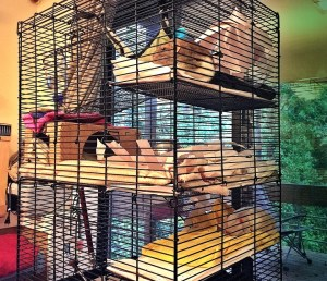about pet rats, pet rats, pet rat, rats, rat, fancy rats, fancy rat, ratties, rattie, pet rat care, pet rat info, best pet, cutest pet, cute pet, pet rat information, pet rat supplies, pet rat cage