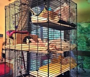 about pet rats, pet rats, pet rat, rats, rat, fancy rats, fancy rat, ratties, rattie, pet rat care, pet rat info, pet rat information, bonding with pet rats, shy pet rats, my pet rats are shy, how to bond with new pet rats, how to make pet rats less scared, pet rat cage location, where to place pet rat cage, where should I put my pet rats cage?