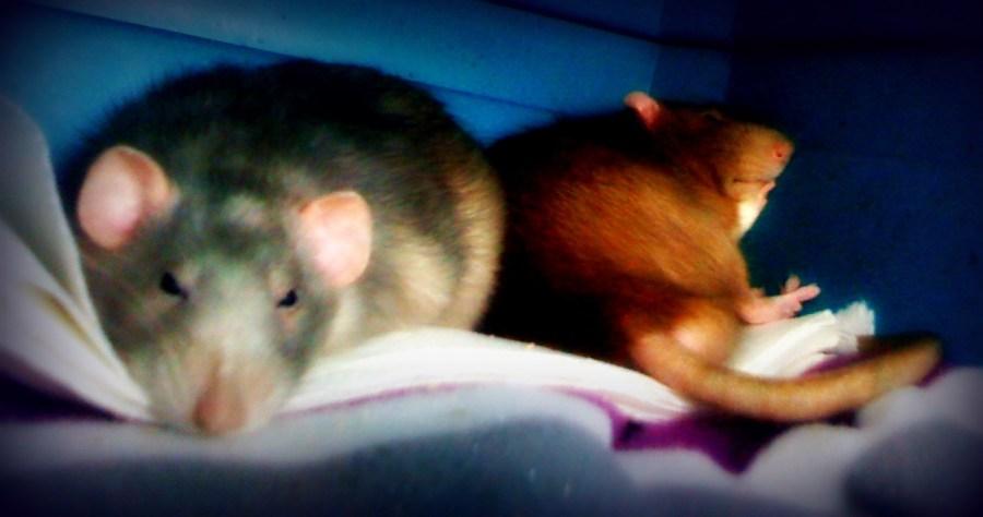 #pet rat carrier #pet rat care #pet rats #rats