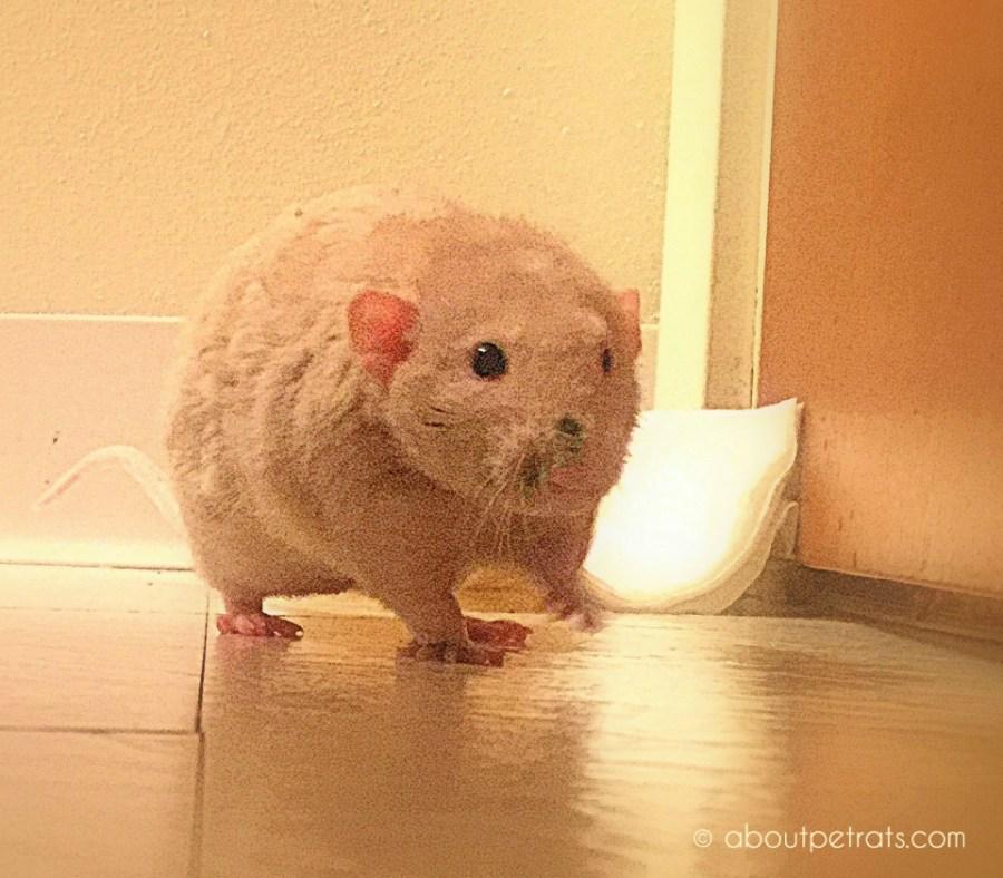 about pet rats, pet rats, pet rat, rats, rat, fancy rats, fancy rat, ratties, rattie, pet rat care, pet rat info, pet rat information, pet rat teddy bear