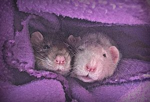 two rats snuggled up together