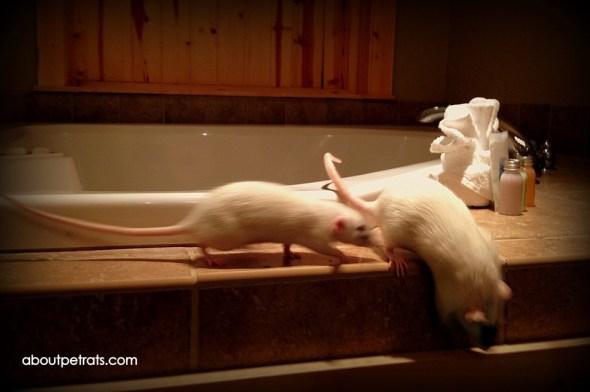 pet rat play, pet rat playground, pet rat care, pet rat info, pet rat free roam, about pet rats, pet rats, pet rat, rats, rat, fancy rats, fancy rat, ratties, rattie, best pet, cute pet