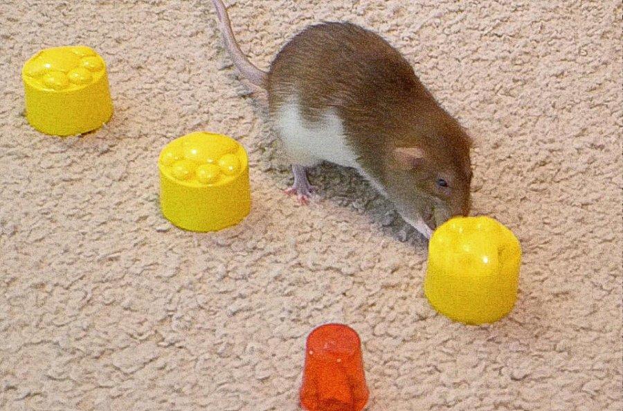 about pet rats, pet rats, pet rat, rats, rat, fancy rats, fancy rat, ratties, rattie, pet rat care, pet rat info, pet rat information, pet rat game, pet rat games, playing with pet rats, pet rat behavior