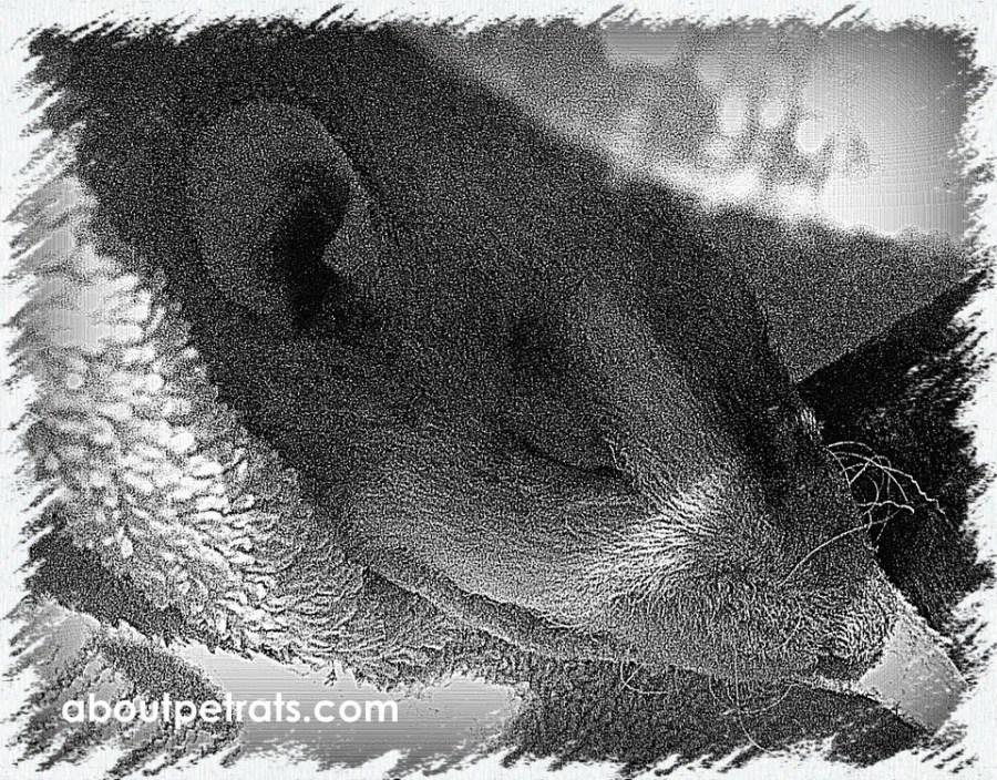 about pet rats, pet rats, pet rat, rats, rat, fancy rats, fancy rat, ratties, rattie, pet rat care, pet rat info, pet rat information, when to separate pet rats, should I separate my pet rats? For how long should I separate my pet rats? Do my pet rats need to be separated? Reasons to separate pet rats, separating pet rats after surgery, separate pet rats post surgery, do sick rats need to be separated?