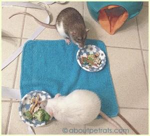 about pet rats, pet rats, pet rat, rats, rat, fancy rats, fancy rat, ratties, rattie, pet rat care, pet rat info, pet rat information, travel with pet rats, traveling with pet rats, pet rat picnic