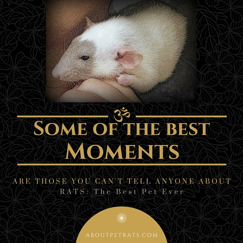 about pet rats, pet rats, pet rat, rats, rat, fancy rats, fancy rat, ratties, rattie, pet rat care, pet rat info, pet rat supplies, best pet