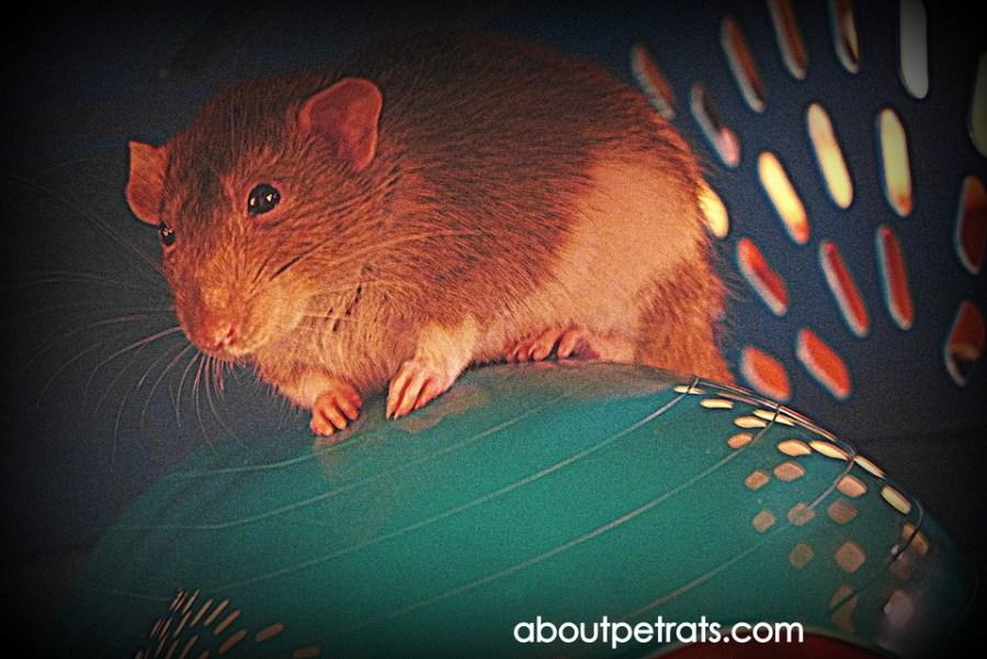 about pet rats, pet rats, pet rat, rats, rat, fancy rats, fancy rat, ratties, rattie, pet rat care, pet rat info, best pet, cute pets, pet rat supplies