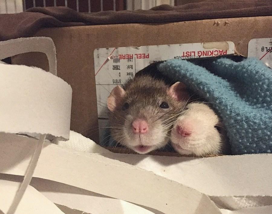 about pet rats, pet rats, pet rat, rats, rat, fancy rats, fancy rat, ratties, rattie, pet rat care, pet rat info, pet rat information, pet rat supplies, pet rat cage, pet rat cage interior, what to put inside your pet rat cage, pet rat cage décor
