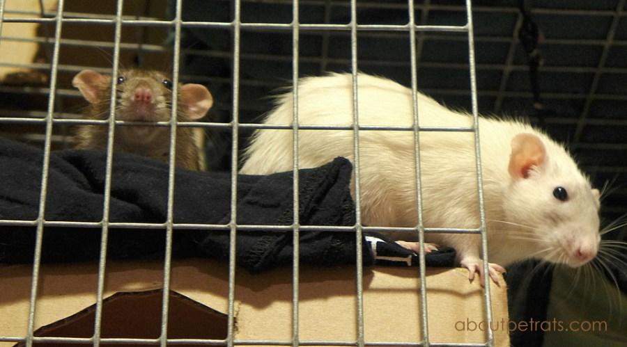 about pet rats, pet rats, pet rat, cage cleaning, how to clean cage, how to clean pet rat cage, rats, rat, pet rat care, fancy rats, fancy rat