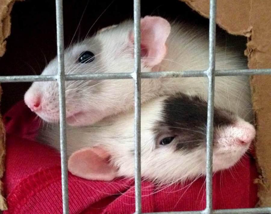 #pet rat cage #pet rat cage cleaning #pet rats #rats #fancy rats #pet rat care #about pet rats