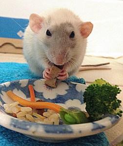 about pet rats, pet rats, pet rat, rats, rat, fancy rats, fancy rat, ratties, rattie, pet rat care, pet rat info, best pet, cute pets, pet rat supplies, pet rat diet, best pet rat diet, best rat diet, pet rat food, pet rat nutrition, pet rat health, pet rat snacks, pet rat snack, pet rat treat, pet rat treats, human food for pet rats, can my pet rat eat human food?, pet rats like thai food