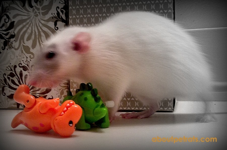 about pet rats, pet rats, pet rat, rats, rat, fancy rats, fancy rat, ratties, rattie, pet rat care, pet rat info, pet rat information, pet rat sitter, pet sitter for rats, pet sitter for pet rats, what do I tell my rat sitter?, travelling with pet rats, road trip with pet rats, can I take my rats on vacation with me?, pet rat health, how to take care of pet rats, how to find a pet sitter for my rats, do I need a pet sitter for my rats?