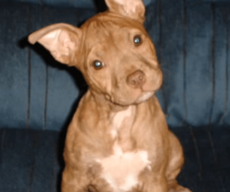 red nose pit bull