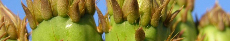 Early Prickly Pear Fruit