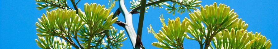 Yucca Stalk