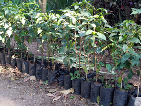 Young coffee plants growing in containers