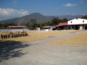 Large areas of coffee spread out in the sun to dry