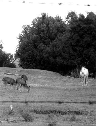 Deer sharing a meadow with a horse