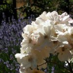 White Sally Holmes roses with purple lavendar in the background