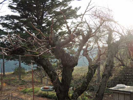 apricot tree before pruning