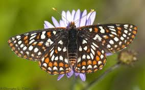 Photo of a checkerspot butterfly