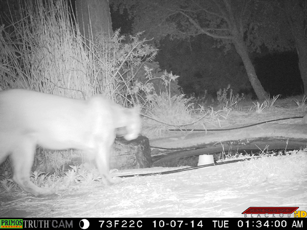 Mountain lion approaching the pond