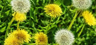 dandelions in flower and going to seed