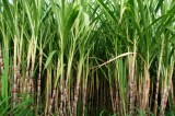 Africa sugar growers are unprepared for EU import quota end – infrastructure is the killer