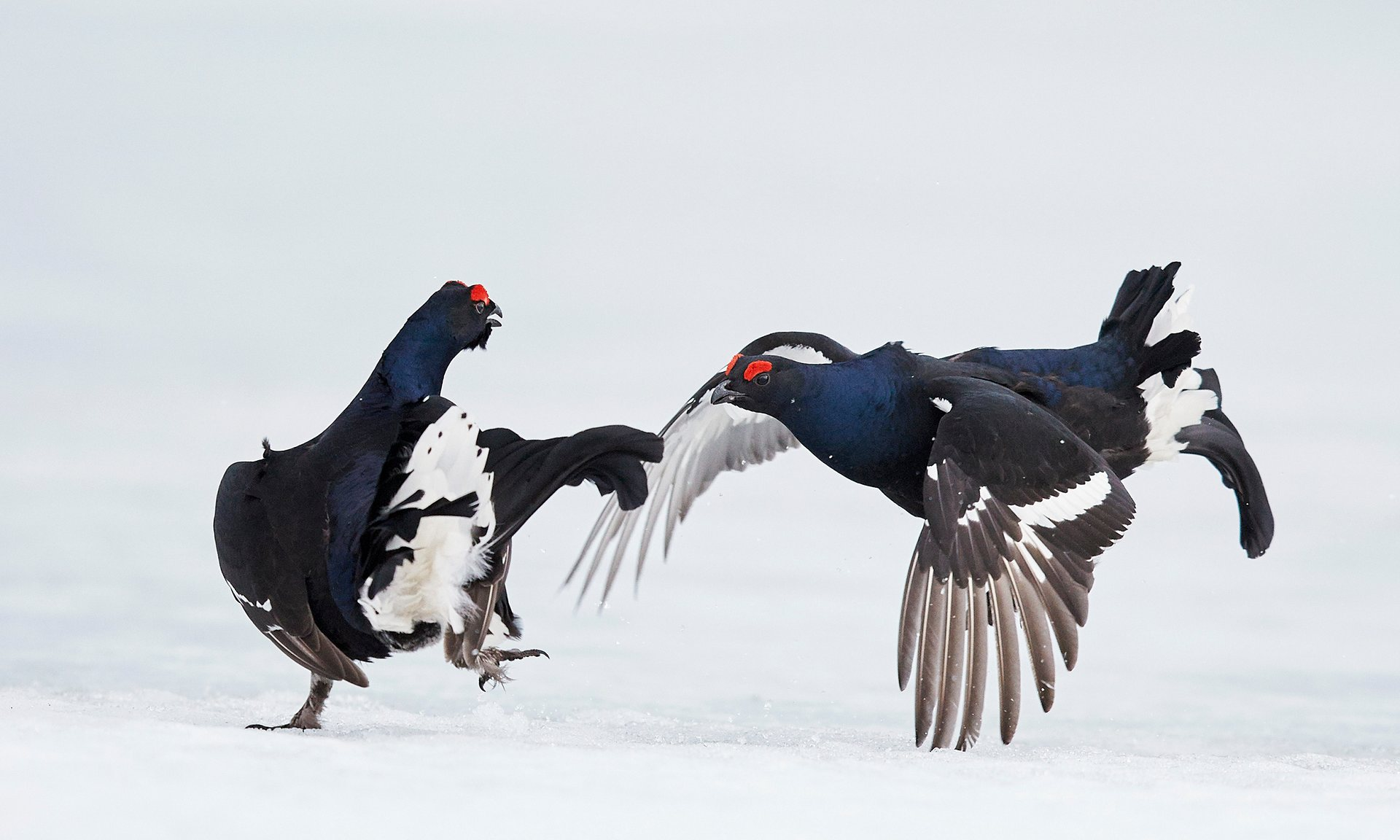 Black grouse fight in Vaala, Finland. The country is committed to protecting biodiversity under its implementation of the sustainable development goals. Photograph: Markus Varesvuo/NPL/Barcroft