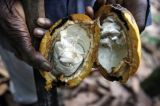 Why African Cocoa Growers Are Having an OPEC Moment