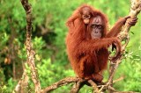 Palm Oil from 'Orangutan Capital Of World' Sold To Major Brands, Says Forest Group