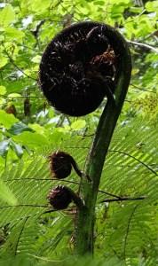 koru - unfurling frond of fern