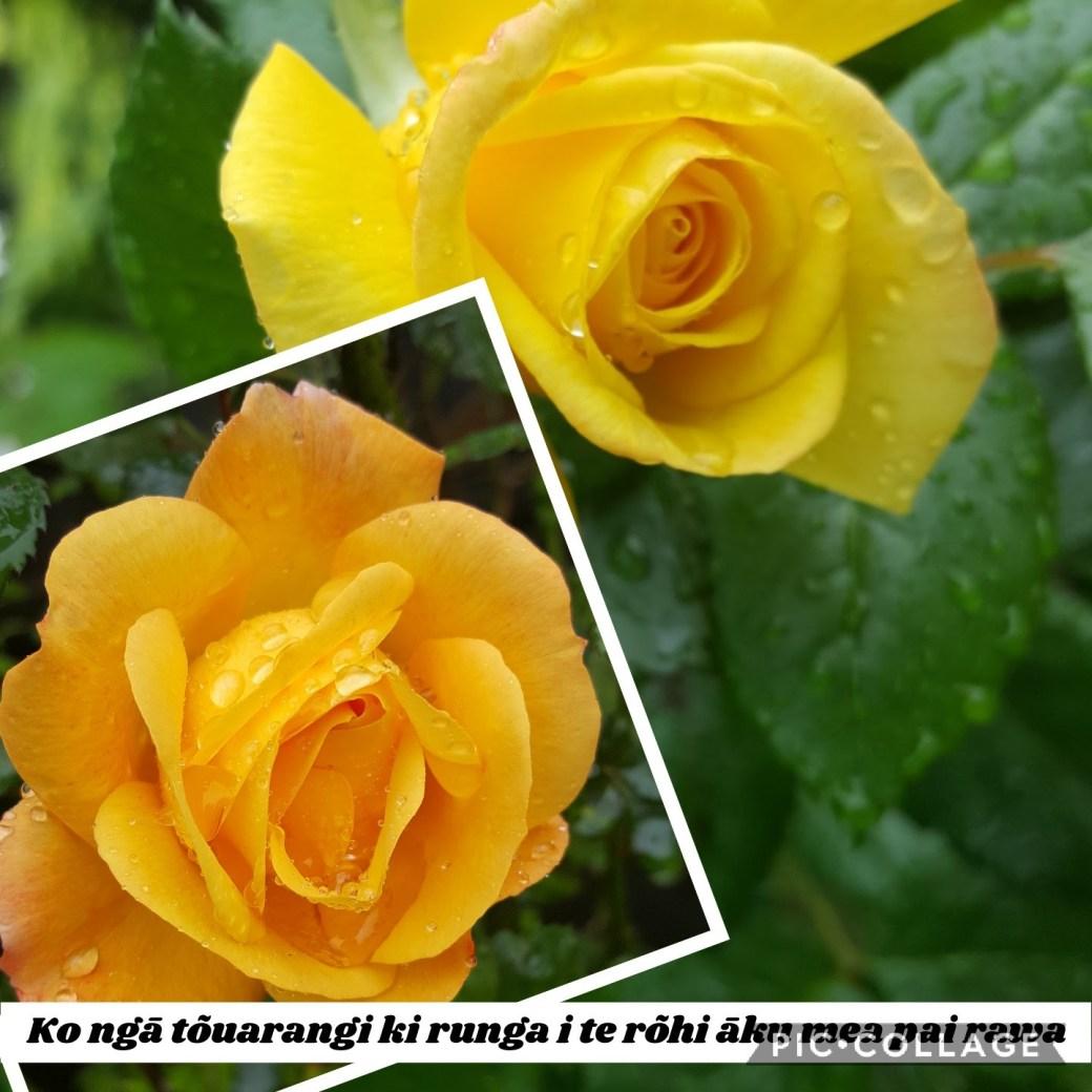 a yellow and an orange rose with raindrops on and the caption: Ko ngā tōuarangi ki runga i te rōhi āku mea pai rawa.