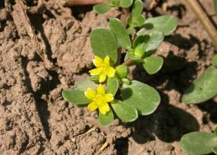 Verdolaga with small yellow flowers. Image from: http://oregonstate.edu/dept/nursery-weeds/weedspeciespage/common_purslane/Common_purslane_Portulaca_oleraceae.html