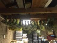 Wild plants hanging in flower room