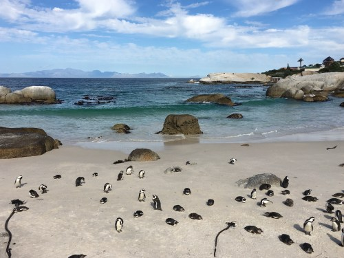 what to do in cape town boulders beach penguins