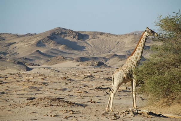 Desert Adapted Giraffe on the Skeleton Coast Hoanib Skeleton Coast Wilderness Safaris