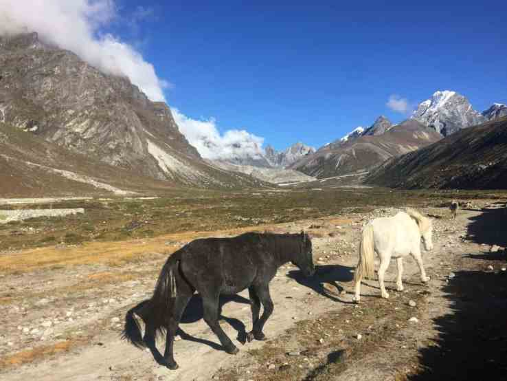 Hiking with stallions on the Everest Base Camp hike from Pheriche to Gorak Shep