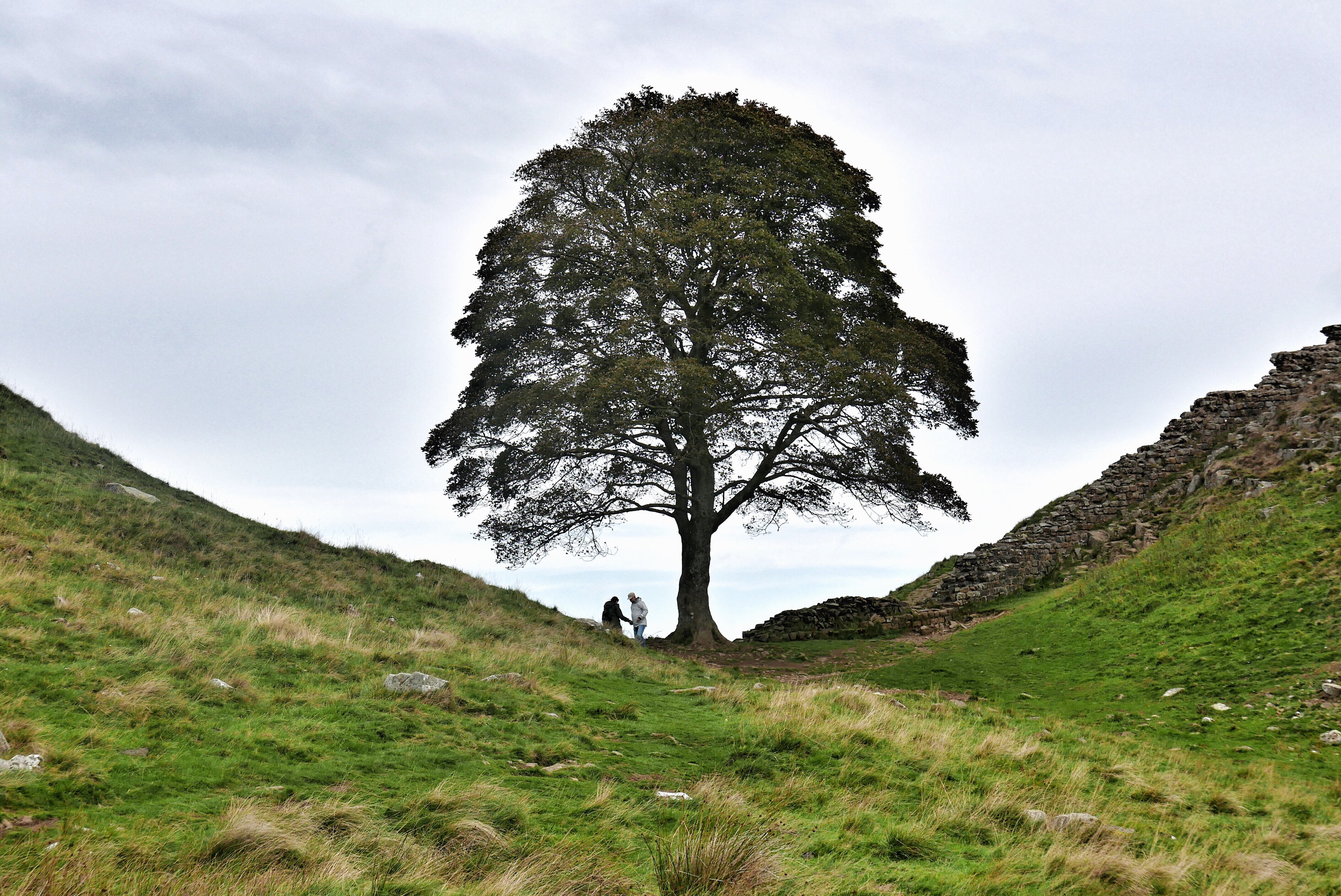 Sycamore Gap, famous tree at Hadrians Wall in Northumberland