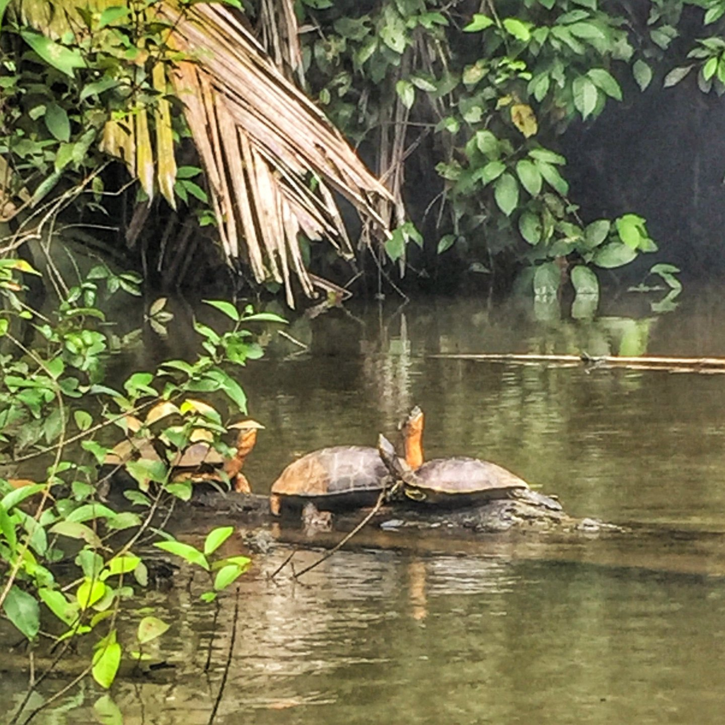 Turtles in the canals of Tortuguero